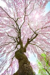 Full bloom saukra at The Fujita Memorial Japanese Garden in Hirosaki, Japan