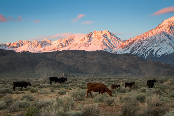 Cattle in front of mountains at sunset