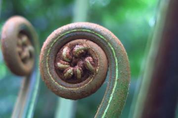 Spirale jeune pousse de fougère