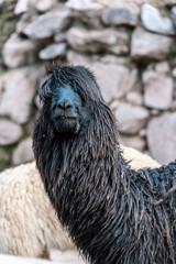 Alpaca Head Peru