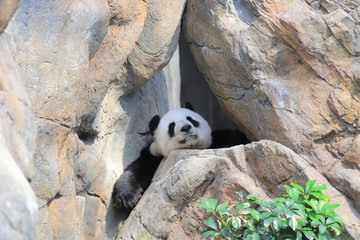a Giant black and white panda relaxes
