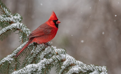 Aluminium Prints Bird Cardinal in the Snow