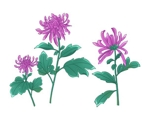 Colorful illustration of chrysanthemum flowers.