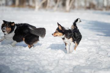puppy dog breed border collie