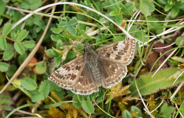 A pretty Dingy Skipper Butterfly (Erynnis tages) perched on a plant with its wings open.