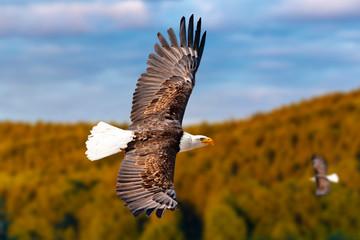 Zwei Weißkopfseeadler fliegen in großer Höhe am Himmel und suchen Beute. Es sind Wolken am Himmel aber es herrscht klare Sicht bei strahlender Sonne.