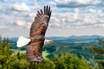 Ein Weißkopfseeadler fliegen in großer Höhe am Himmel und suchen Beute. Es sind Wolken am Himmel aber es herrscht klare Sicht bei strahlender Sonne. Fototapete