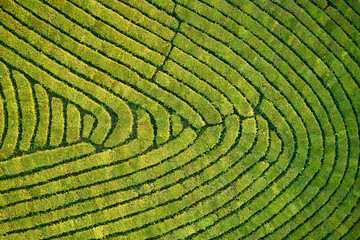 Aerial view shot from drone of green tea plantation, Top view aerial photo from flying drone of a tea plantation