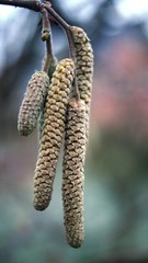catkins in spring