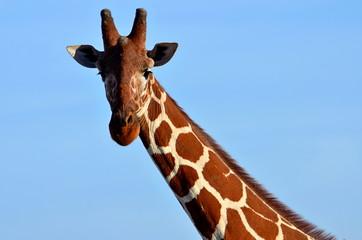 Giraffe in freier Wildbahn in Afrika