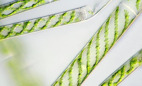 Green algae under the microscope