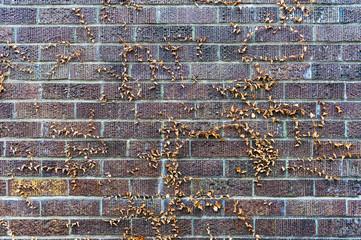 枯れた蔦の絡まるレンガ壁