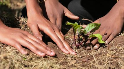 Poster Afrique Close up of African child hands planting vegetables in soil