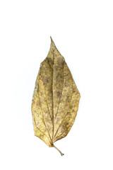 Wildbetal leaf bush  Close up