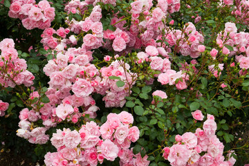 Profuse pink bush roses flowering