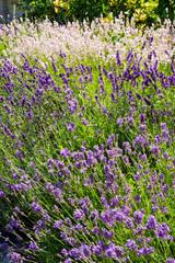 Summer lavender English cottage style garden border