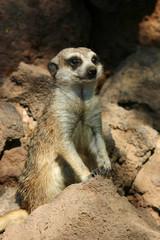 Marmotta marrone in piedi