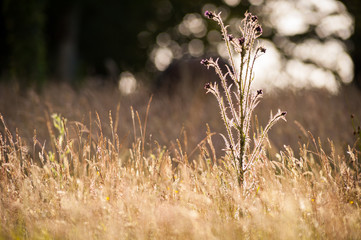 Wild marsh thistle plant flowering, backlit by the evening sun in a summer meadow