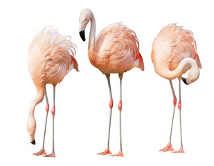 Aluminium Prints Flamingo isolated on white three flamingo