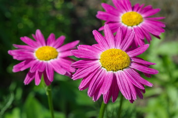 The pink Pyrethrum, or Persian Daisy (lat. Pyrethrum roseum) in the garden close-up