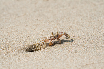 Small sandy ghost crab