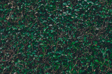 Green bush background. Leaves texture