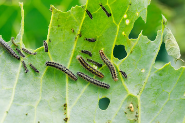 nasty black caterpillars crawl on green cabbage leaves and eat them in the garden on the farm in summer