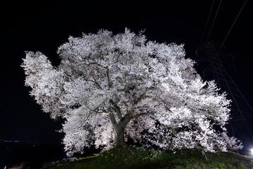 満開のわに塚の桜