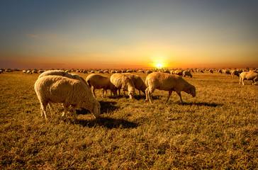 Merino sheep flocks farm