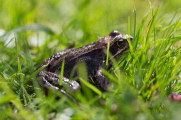Frog on a grass in a garden. Shallow depth of field. Selective focus