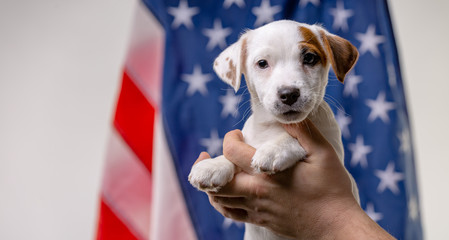 American independence day concept, cute puppy jack russell terrirer in male hands pose in front of the USA flag