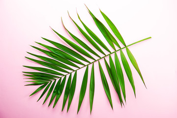 Top view of big green leaf of a exotic parlor palm on pale pink gradient background with a lot of copy space for text. Minimalistic flat lay composition w/ large branch of tropical plant. Close up