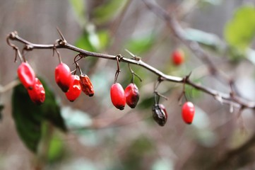 Wild Winter Berries