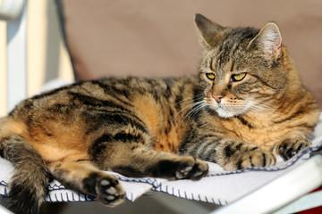 Head of tabby adult gray cute cat. Closeup domestic adorable  beautiful pet adult cat