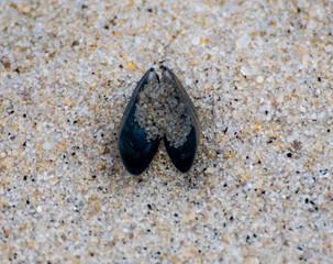 Mussel on a beach