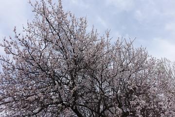 Crown of blossoming apricot tree against the sky