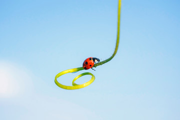 little red ladybug crawling on the spiral blade of grass on the background of blue sky