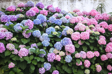Fotomurales - Hydrangea is pink, blue, lilac, violet, purple flowers. Bushes are blooming in spring and summer in countryside garden.