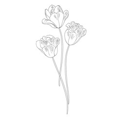 Tulips. Hand drawn vector illustration. Monochrome black and white ink sketch. Line art. Isolated on white background. Coloring page