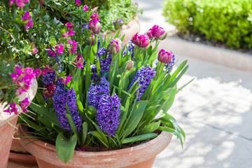 Fotomurales - Tulips and hyacinth in flower pots outdoor. Spring gardening on town streets. Spring scenes, Purple, pink and lilac blooming flora and green grass.