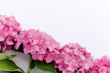 Fotomurales - Beautiful hydrangea isolated on white background. Pink flowers hortensia are blooming in spring and summer.