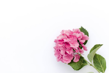 Fotomurales - Pink flower of hydrangea isolated on white background. Hortensia are blooming in spring and summer.