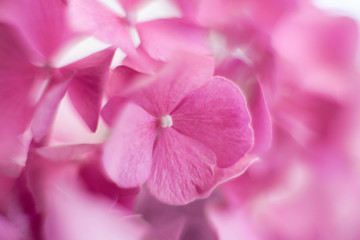 Fotomurales - Pink hydrangea background and floral pattern. Flowers are blooming in spring and summer.