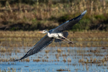 A heron hunting and flying in the lagoon. Adult grey heron (ardea cinerea) on the hunt in natural park of Albufera, Valencia. Natural portrait and nature background.