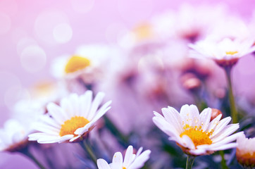 White daisies flowers isolated on pink background.