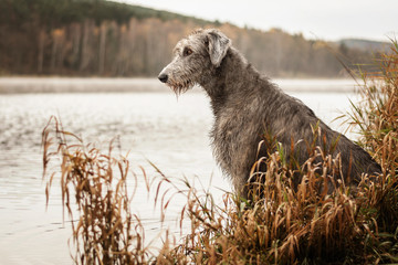 Irish Wolfhound. Big gray dog sitting on the river bank. Papier Peint
