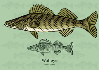 Walleye, Yellow pike. Vector illustration with refined details and optimized stroke that allows the image to be used in small sizes (in packaging design, decoration, educational graphics, etc.)