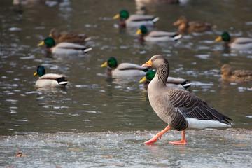 Goose in the wild