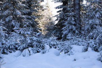 Winter Forest, scenery with trees in sunny cold day, glitter snow.
