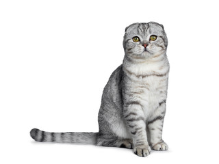 Handsome young silver tabby Scottish Fold cat kitten sitting side ways looking at camera with yellow eyes. Isolated on a white background. Tail behind body.